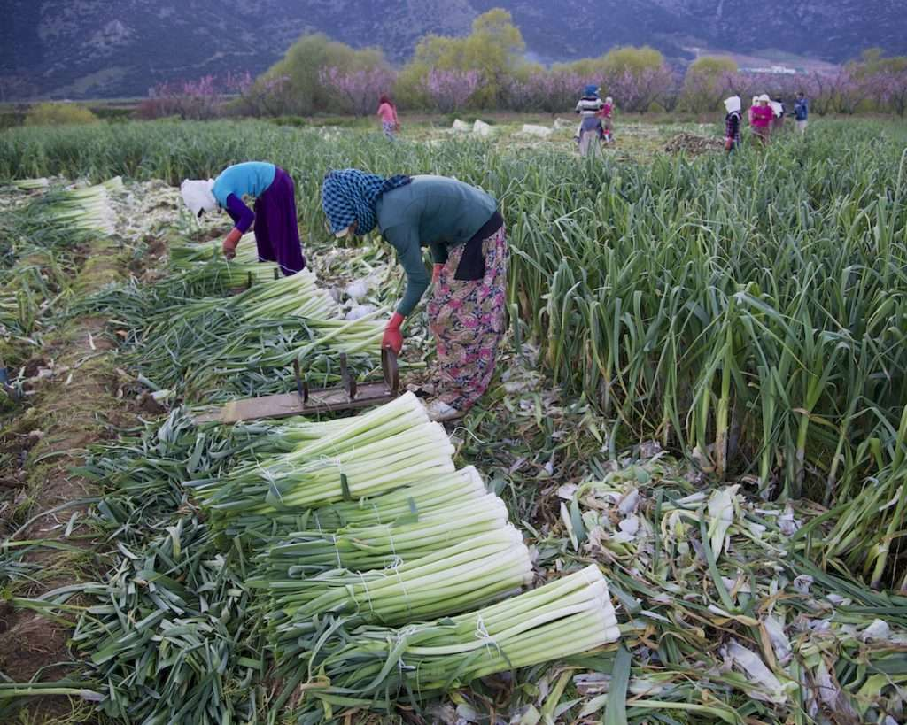 Medium shot of women working in leek field near Kusadasi, Turkey by Ralph Velasco