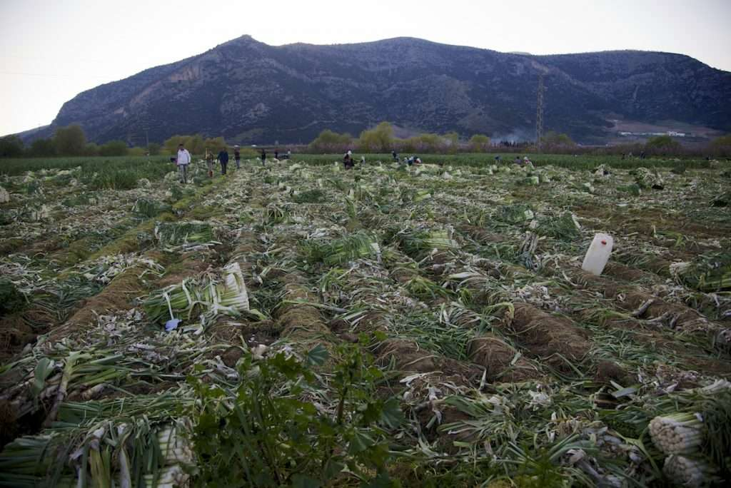 Overall view of leek field during harvest in Kusadasi, Turkey by Ralph Velasco