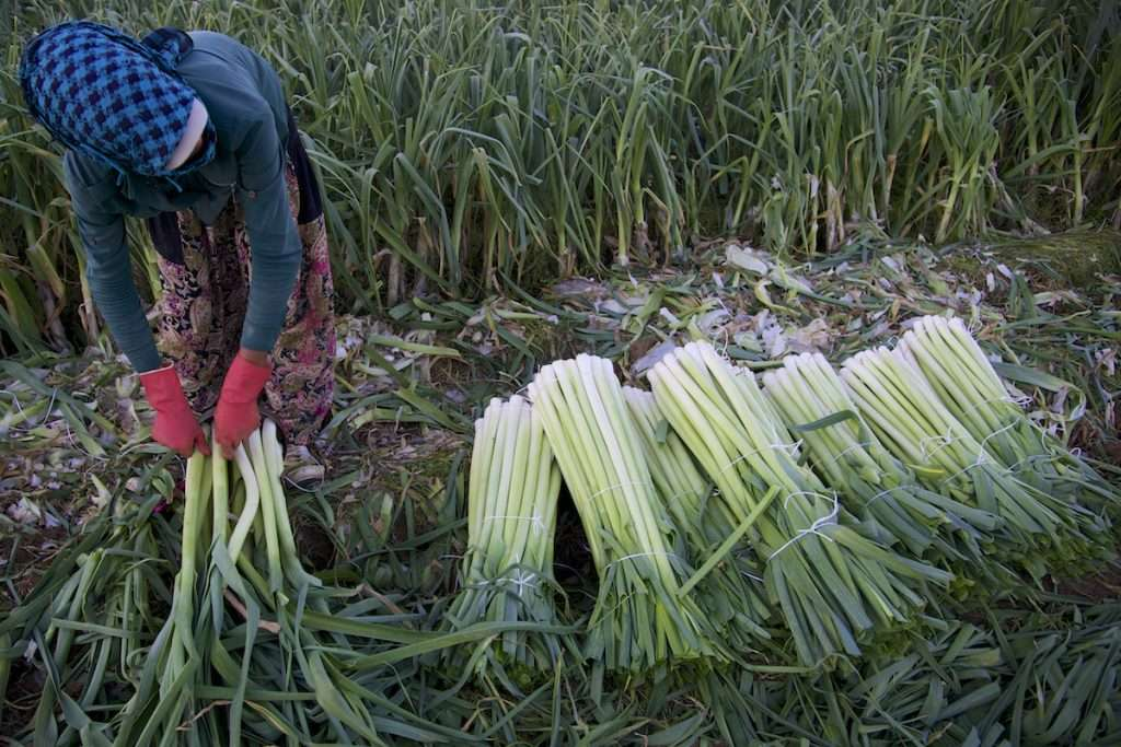 Single woman in pink gloves and blue hat in leek field in Kusadasi, Turkey by Ralph Velasco