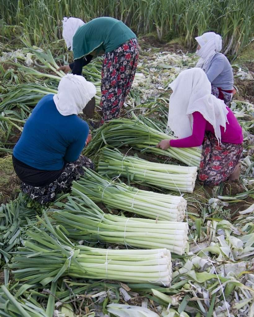 Women in white scarves binding leeks in field near Kusadasi, Turkey by Ralph Velasco