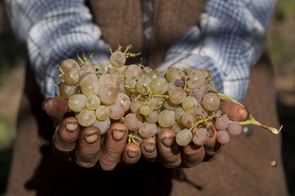 Hasan's Hands with Grapes 1 L - Kalkan, Turkey by Ralph Velasco